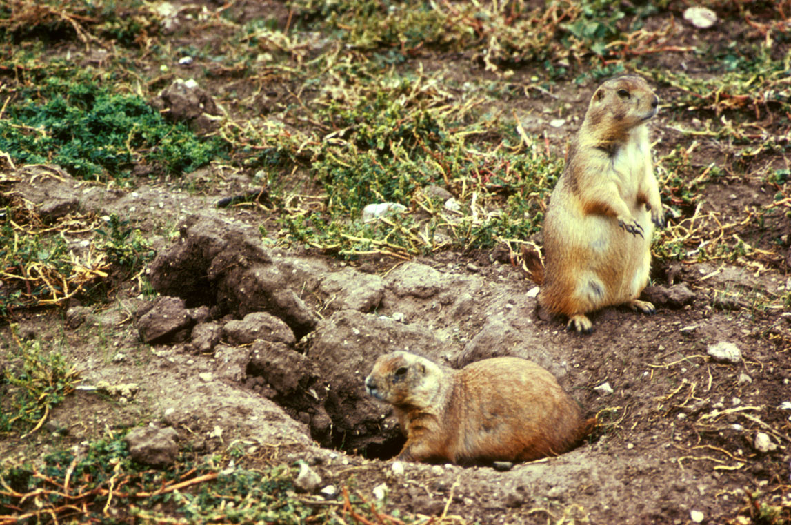 the prairie dog Prairie dogs tend to be celebrated for their larger ecological virtues in the grasslands across the central and western united states, their intricate underground colonies—called prairie.