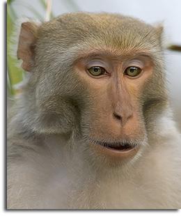 Macaques | AnimalWise